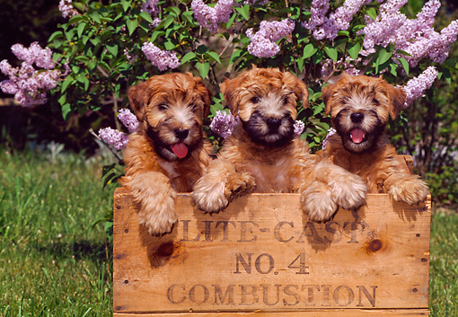 PUP 14 CE0121 01 © Kimball Stock Three Soft Coated Wheaten Terrier Puppies Standing In Crate By Purple Flowers