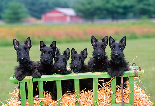 PUP 14 CE0122 01 © Kimball Stock Six Scottish Terrier Puppies Standing On Straw In Green Cart