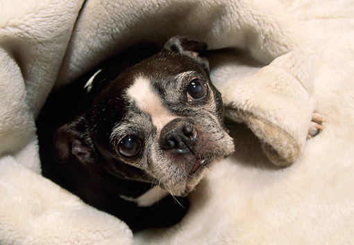 PUP 14 DC0010 03 © Kimball Stock Overhead Head Shot Of Old Boston Terrier Snuggling In Blanket