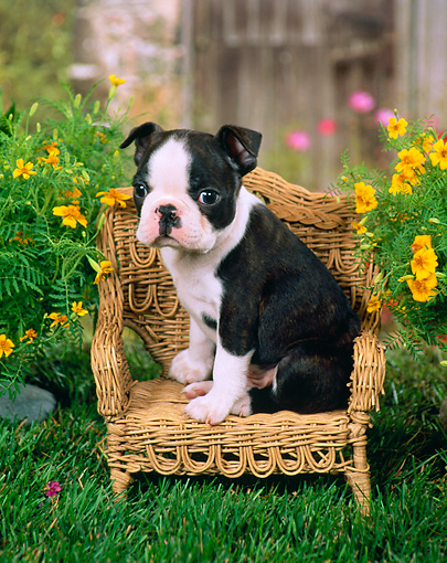 PUP 14 FA0002 01 © Kimball Stock Boston Terrier Puppy Sitting On Wicker Chair By Flowers