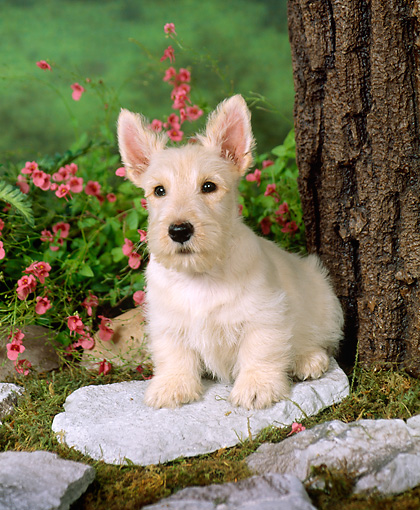 PUP 14 FA0004 01 © Kimball Stock Tan Scottish Terrier Puppy Sitting On Stone By Tree