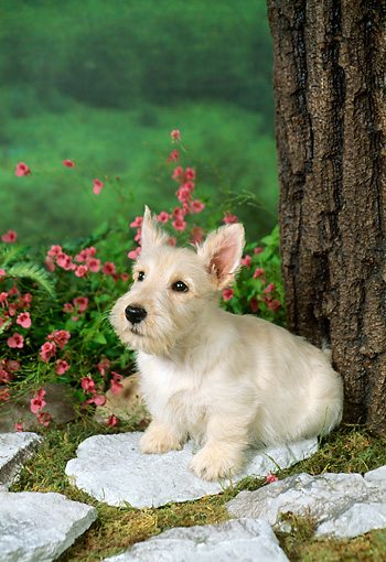 PUP 14 FA0004 02 © Kimball Stock Tan Scottish Terrier Puppy Sitting On Stone By Tree