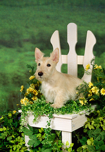 PUP 14 FA0005 01 © Kimball Stock Tan Scottish Terrier Puppy Sitting On White Chair With Yellow Flowers
