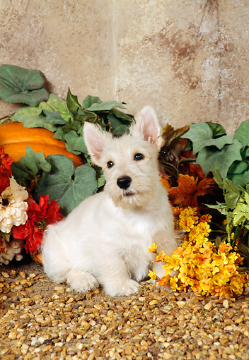 PUP 14 FA0006 01 © Kimball Stock Tan Scottish Terrier Puppy Sitting By Flowers And Pumpkin