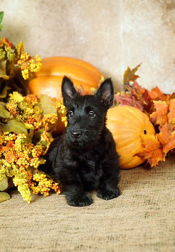 PUP 14 FA0007 01 © Kimball Stock Black Scottish Terrier Puppy Sitting By Flowers And Pumpkins