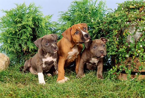 PUP 14 FA0008 01 © Kimball Stock Three American Staffordshire Terrier (Pit Bull) Puppies Sitting On Grass By Shrubs