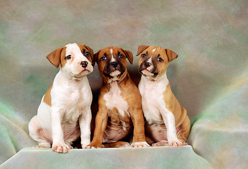 PUP 14 FA0009 01 © Kimball Stock Three American Staffordshire Terrier (Pit Bull) Puppies Sitting On Gray Cloth