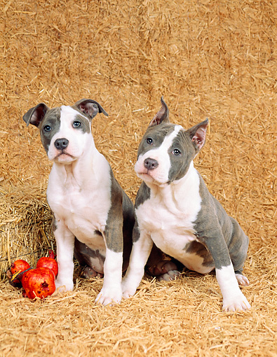 PUP 14 FA0010 01 © Kimball Stock Two American Staffordshire Terrier (Pit Bull) Puppies Sitting On Hay Bales