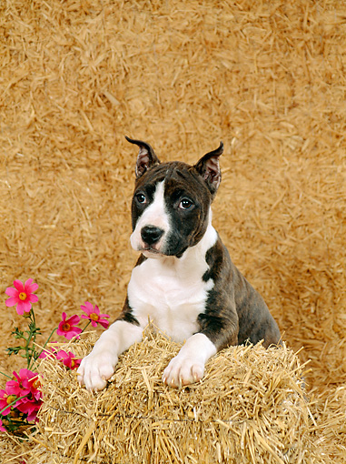 PUP 14 FA0011 01 © Kimball Stock American Staffordshire Terrier (Pit Bull) Puppy Laying On Hay Bale