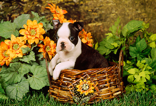 PUP 14 FA0012 01 © Kimball Stock Boston Terrier Puppy Sitting In Basket By Flowers