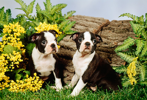 PUP 14 FA0014 01 © Kimball Stock Two Boston Terrier Puppies Sitting On Grass By Log And Flowers