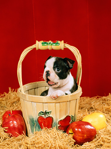 PUP 14 FA0017 01 © Kimball Stock Boston Terrier Puppy Sitting In Basket By Apples