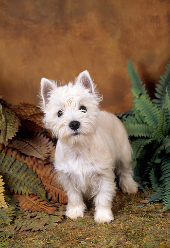 PUP 14 FA0019 01 © Kimball Stock West Highland White Terrier Puppy Standing On Grass By Ferns