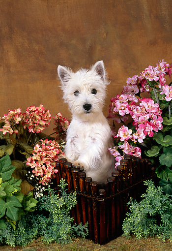PUP 14 FA0020 01 © Kimball Stock West Highland White Terrier Puppy Standing In Basket By Flowers