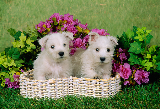 PUP 14 FA0024 01 © Kimball Stock Two West Highland White Terrier Puppies Sitting In Basket By Pink Flowers