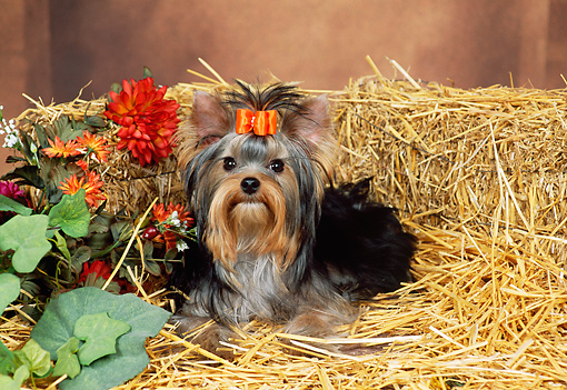 PUP 14 FA0028 01 © Kimball Stock Yorkshire Terrier Puppy Sitting On Hay By Flowers