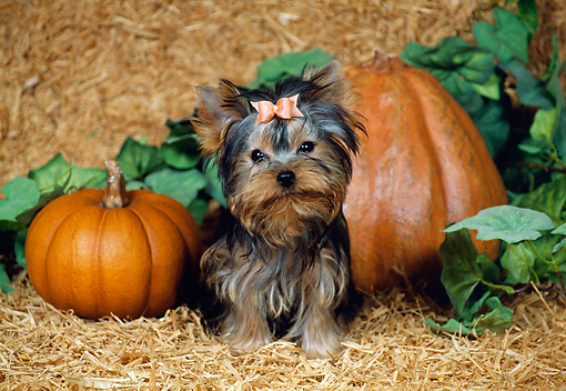 PUP 14 FA0029 01 © Kimball Stock Yorkshire Terrier Puppy Sitting On Hay By Pumpkins