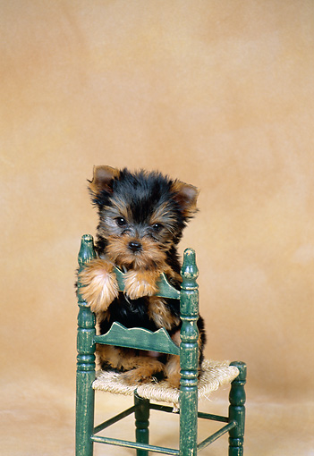 PUP 14 FA0030 01 © Kimball Stock Yorkshire Terrier Puppy Sitting Chair