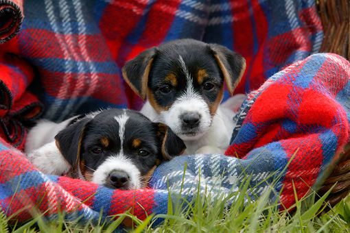 PUP 14 KH0001 01 © Kimball Stock Two Parson Russell Terriers Laying On Plaid Blanket In Grass
