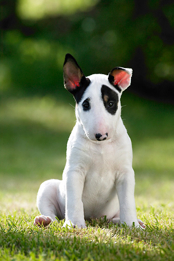 PUP 14 KH0003 01 © Kimball Stock Bull Terrier Puppy Sitting In Field