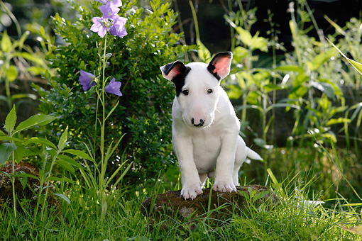PUP 14 KH0005 01 © Kimball Stock Bull Terrier Puppy Standing On Rock By Purple Flower In Field