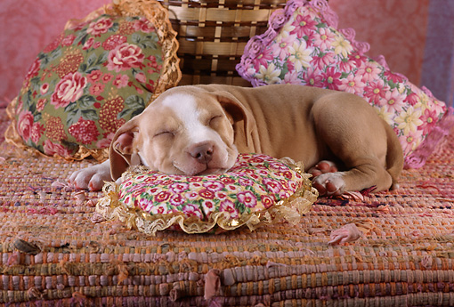 PUP 14 RC0001 01 © Kimball Stock Portrait Of American Pit Bull Terrier Puppy Sleeping On Pillow Studio