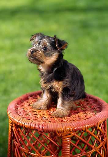 PUP 14 RC0003 01 © Kimball Stock Portrait Of Yorkshire Terrier Puppy Sitting On Red Wicker Stool On Grass