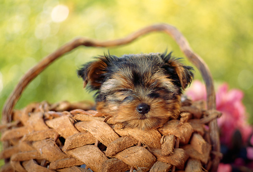 PUP 14 RC0004 01 © Kimball Stock Portrait Head Shot Of Yorkshire Terrier Puppy Sitting In Basket Foliage Background