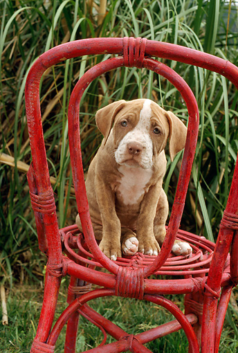 PUP 14 RC0006 01 © Kimball Stock Portrait Of American Pit Bull Terrier Puppy Sitting On Red Wicker Chair By Grass