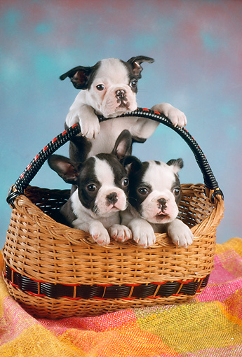 PUP 14 RC0010 01 © Kimball Stock Portrait Of Three Boston Terrier Puppies Sitting In A Basket