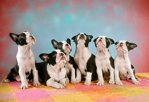 PUP 14 RC0013 01 © Kimball Stock Portrait Of Six Boston Terrier Puppies Looking Up Studio