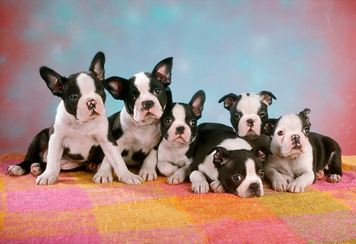 PUP 14 RC0015 01 © Kimball Stock Portrait Of Six Boston Terrier Puppies Huddling On A Blanket