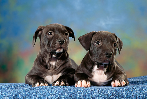 PUP 14 RC0016 01 © Kimball Stock Portrait Of Two American Staffordshire Terrier (Pit Bull) Puppies Laying On Blue Fabric Studio