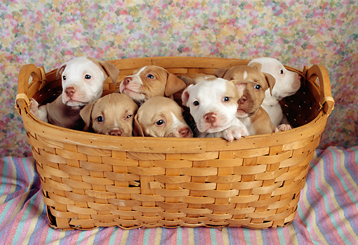 PUP 14 RC0017 01 © Kimball Stock Portrait Of Seven American Pit Bull Terrier Puppies Sitting In Basket Studio