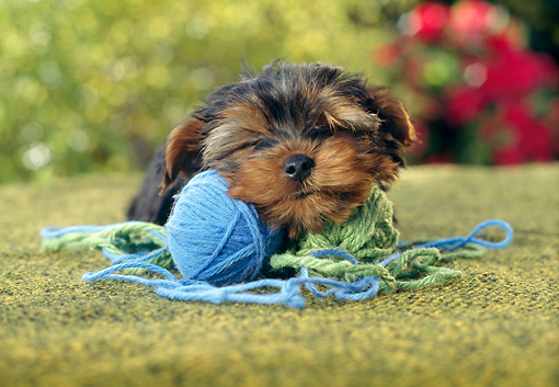 PUP 14 RC0018 01 © Kimball Stock Portrait Of Yorkshire Terrier Puppy Resting On Ball Of Yarn