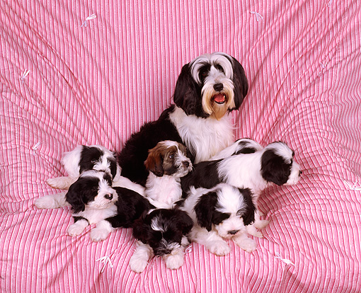 PUP 14 RK0003 02 © Kimball Stock Ashlyn Tibetan Terrier With Mom And Pups Sitting On Pink Quilt