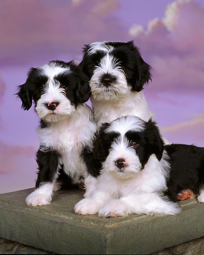 PUP 14 RK0005 15 © Kimball Stock Ashlyn Tibetan Terriers Sitting Together On Box Purple Clouds Background