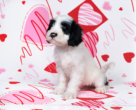 PUP 14 RK0010 02 © Kimball Stock Ashlyn Tibetan Terrier Laying On Valentine Hearts