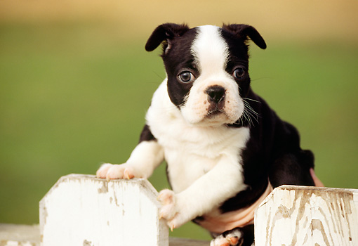PUP 14 RK0021 01 © Kimball Stock Boston Terrier Puppy Sitting On White Picket Fence