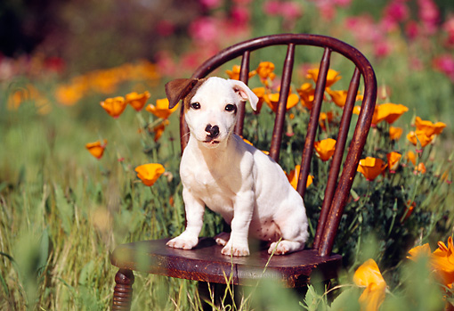 PUP 14 RK0027 01 © Kimball Stock Jack Russell Terrier Puppy Sitting On Chair In Flower Garden