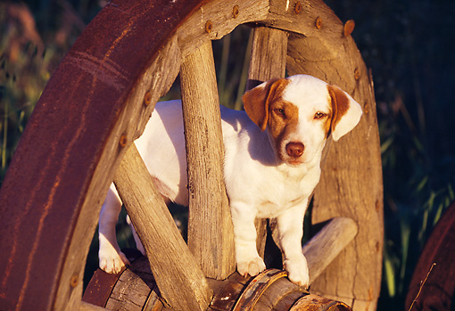 PUP 14 RK0029 14 © Kimball Stock Jack Russell Terrier Puppy Standing On Wagon Wheel