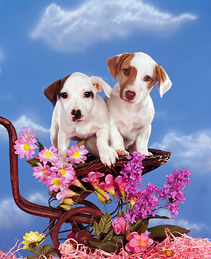 PUP 14 RK0030 06 © Kimball Stock Two Jack Russell Terrier Puppies Sitting On Wicker Stroller By Flowers Studio