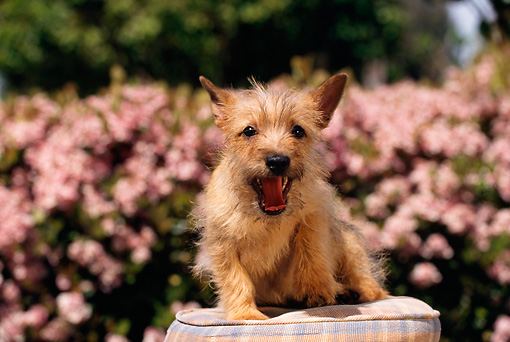 PUP 14 RK0046 01 © Kimball Stock Cairn Terrier Puppy Sitting On Pillow