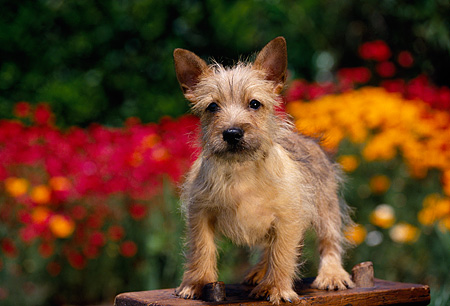 PUP 14 RK0048 02 © Kimball Stock Cairn Terrier Puppy Standing On Wooden Bench Red And Yellow Flowers In Background