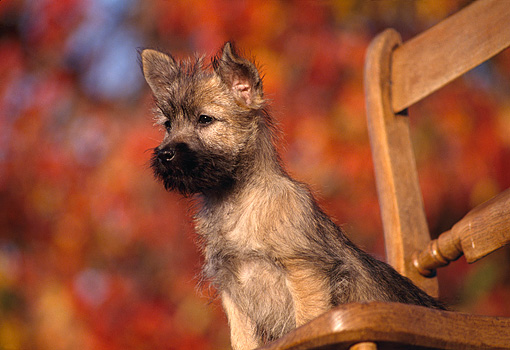 PUP 14 RK0051 01 © Kimball Stock Cairn Terrier Puppy Sitting On Chair Fall Colored Leaves Background