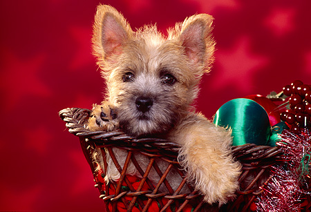 PUP 14 RK0053 08 © Kimball Stock Cairn Terrier Puppy Sitting In Basket With Christmas Decorations Red Star Background