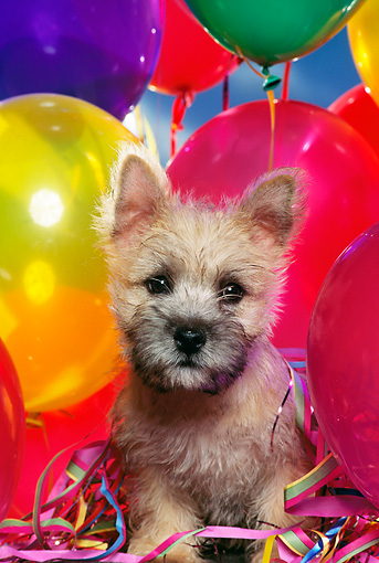 PUP 14 RK0055 04 © Kimball Stock Cairn Terrier Puppy Standing Surrounded By Balloons Facing Camera