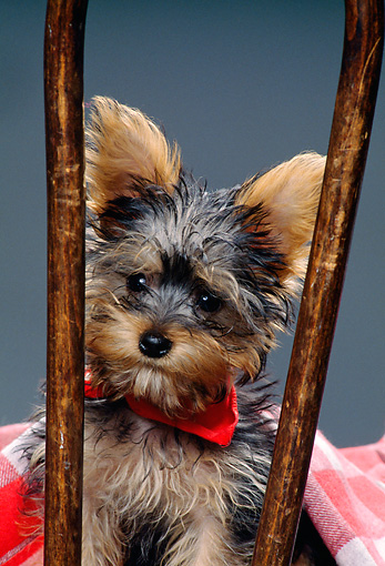 PUP 14 RK0062 01 © Kimball Stock Close-Up Of Miniature Yorkshire Terrier Puppy Sitting On Chair Studio