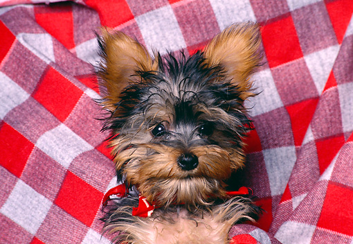 PUP 14 RK0066 01 © Kimball Stock Head Shot Of Miniature Yorkshire Terrier Puppy Laying On Gingham Blanket Facing Camera