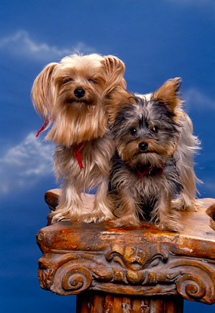 PUP 14 RK0068 02 © Kimball Stock Two Mini Yorkshire Terriers Sitting Together On Pillar Blue Sky Background